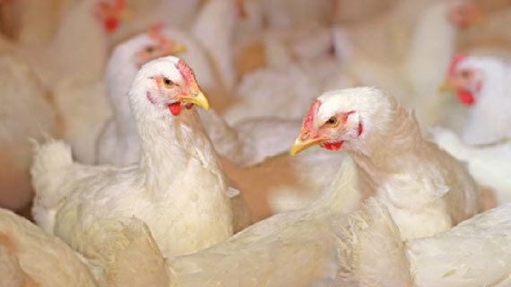 animal feed nutrition